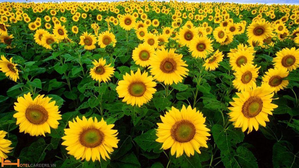 Cánh đồng hoa hướng dương tại vùng Tuscany